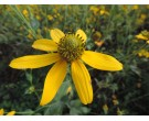 Cutleaf Coneflower