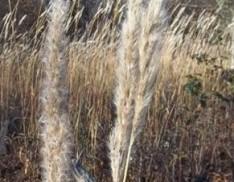 Plumegrass (Saccharum giganteum)