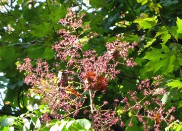 Devil's Walking Stick (Aralia spinosa)