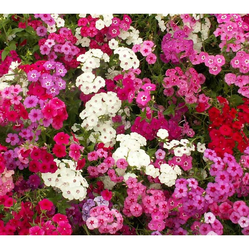phlox chat Mid-summer color for weeks and weeks, tall columns of fragrant flowers, and some of the easiest perennials to grow--just a few reasons you must have phlox, phlox, phlox.