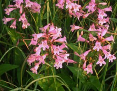 Appalachian Beardtongue (Penstemon lavigatus)