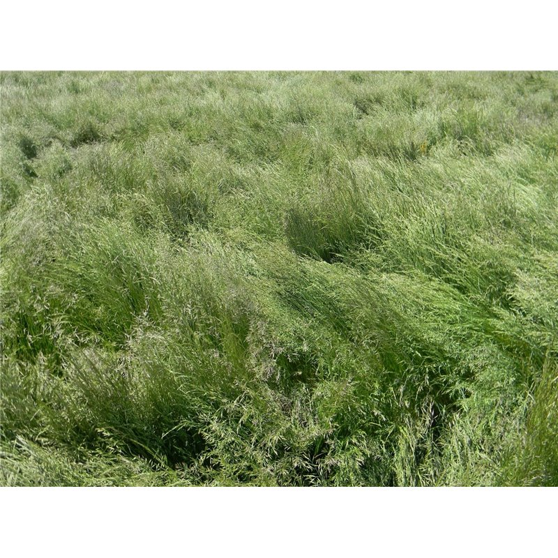 Creeping red fescue roundstone native seed company for Tall red grass