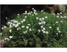 Rocket Candytuft