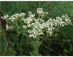 Roundleaf Thoroughwort