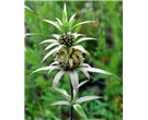 Spotted Bee Balm
