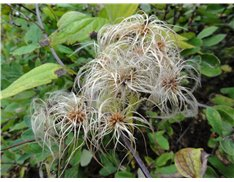 Virgin's Bower (Clematis virginiana)