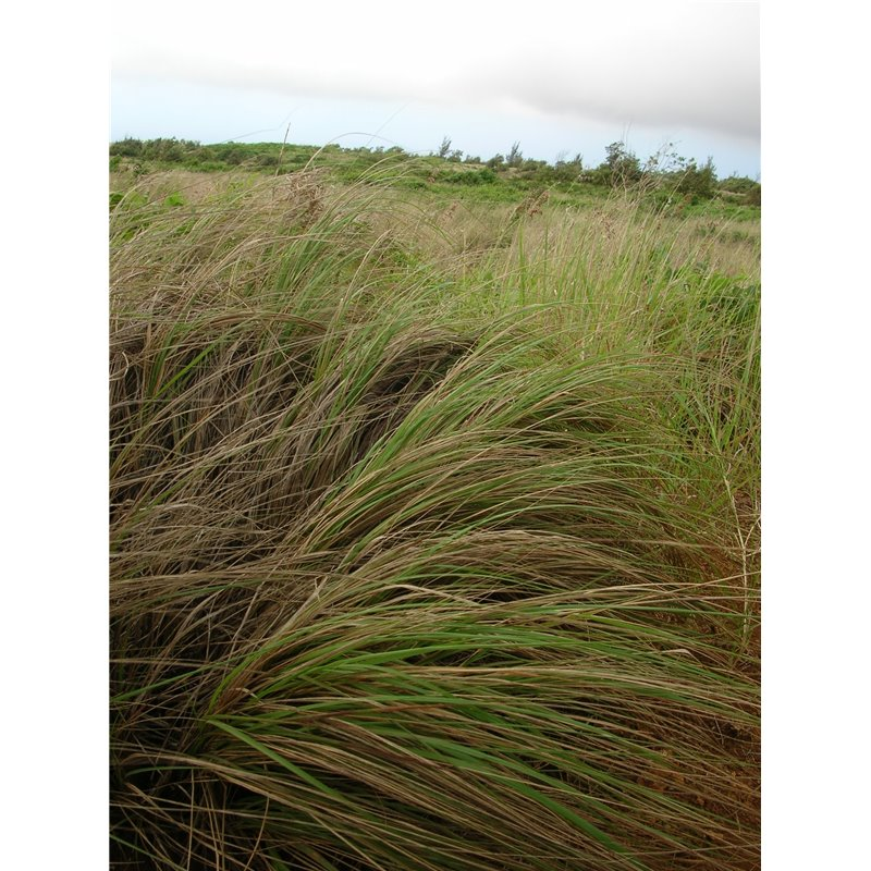 200 WEEPING LOVE GRASS Ornamental Love Grass Eragrostis